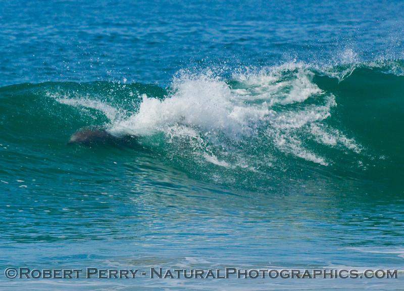 Full throttle: bottlenose dolphin in wave.