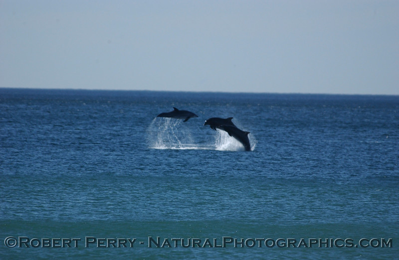 Part 1 of a sequence of images of leaping Bottlenose Dolphins just outside the surfline at Zuma Beach.