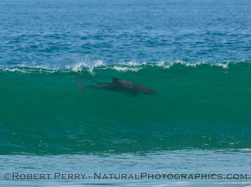 Ridin' high!  Surfing bottlenose dolphin.