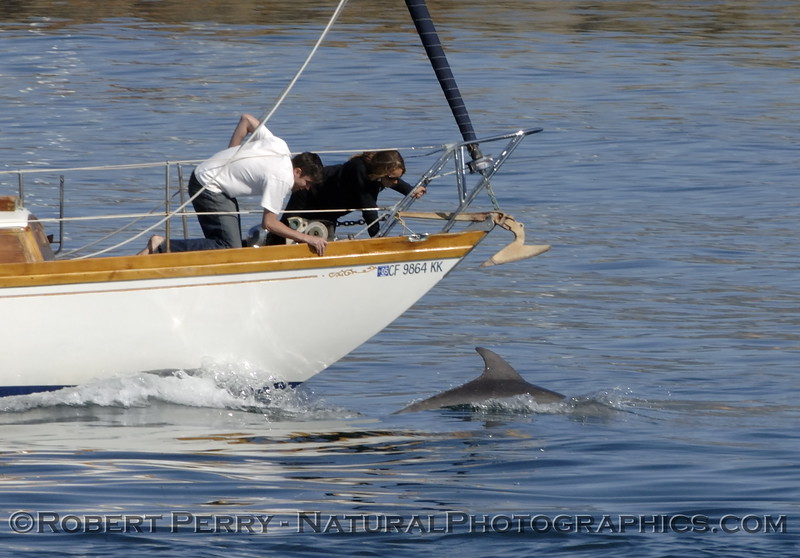 Bottlenose Dolphin riding the bow of a sailboat just outside Santa Barbara Harbor.