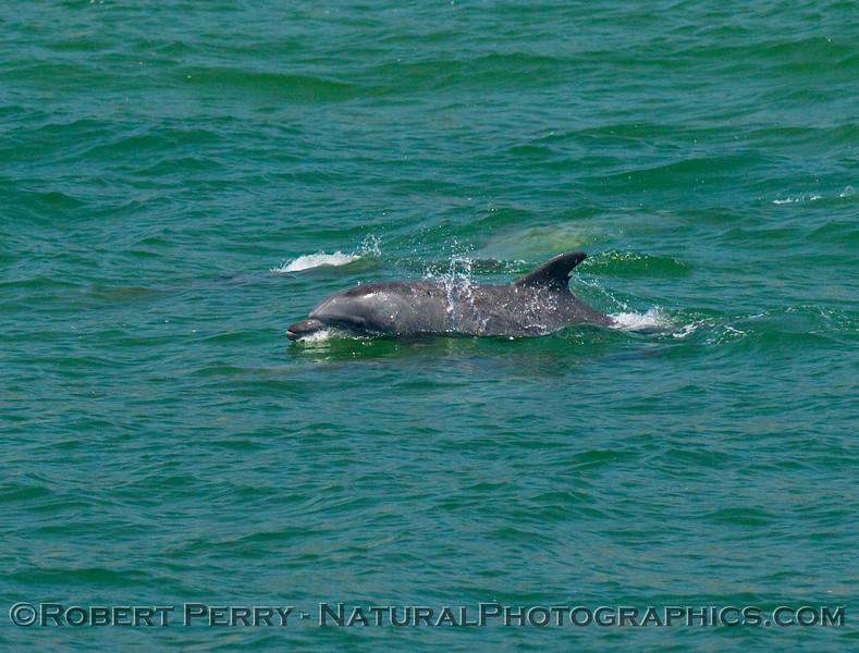 Inshore bottlenose dolpin, Tursiops truncatus.