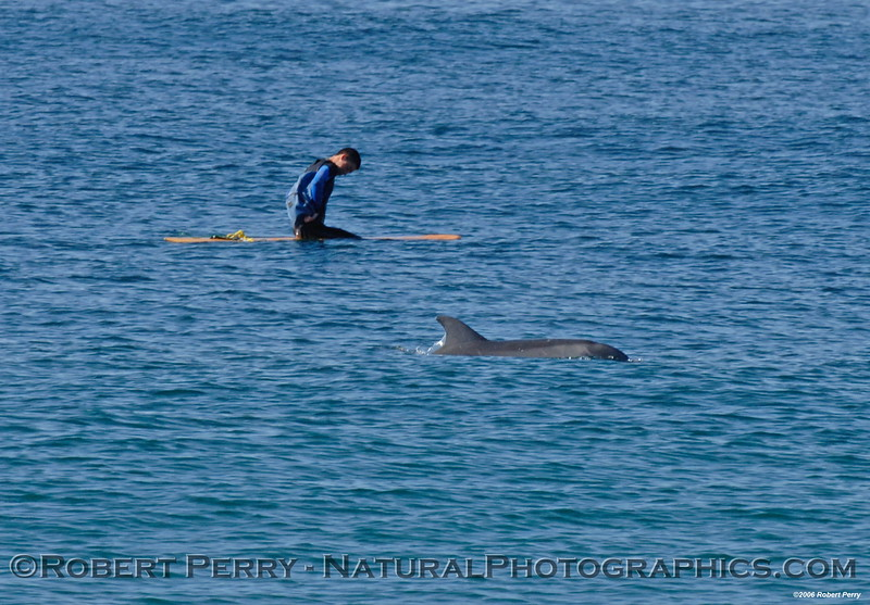 Carter Baldwin, towing a plankton net behind surfboard, gets a visit from a Bottlenose Dolphin.  Biology class research at Malibu High School.