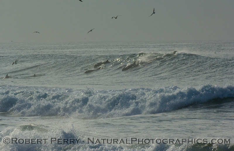 The whole pod takes off on a Zuma Beach wave...part 1 of 2.