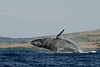 humpback whale breaching (6 in sequence of 9), Megaptera novaeangliae, in Maui, Hawaii , Central Pacific Ocean