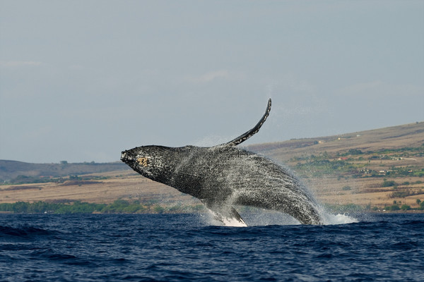 humpback whale breaching (5 in sequence of 9), Megaptera novaeangliae, in Maui, Hawaii , Central Pacific Ocean