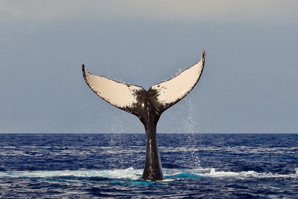 Humpback whale showing fluke, Megaptera novaeangliae, Maui, Hawaii