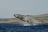 humpback whale breaching (3 in sequence of 9), Megaptera novaeangliae, in Maui, Hawaii , Central Pacific Ocean