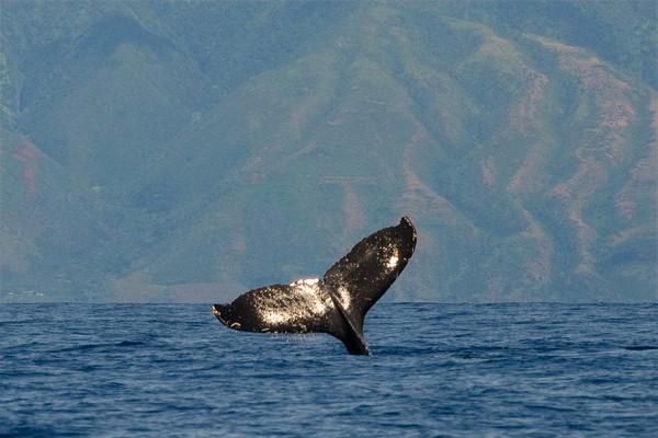 Humpback whale, Megaptera novaeangliae, tail lobbing with Molokai in the background, Maui, Hawaii