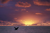 humpback whale breaching at sunset., Megaptera novaeangliae, in Kona Hawaii <br /> DC     3
