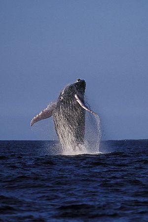 humpback whale breaching, Megaptera novaeangliae, in Kona, Hawaii , Central Pacific Ocean<br /> 1