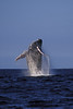 humpback whale breaching, Megaptera novaeangliae, in Kona, Hawaii , Central Pacific Ocean<br /> 1