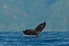 Humpback whale, Megaptera novaeangliae, tail lobbing with Molokai in the background, Maui, Hawaii