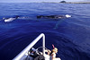 humpback whale, Megaptera novaeangliae, surfaces next to boat in Kona, Hawaii <br /> 1