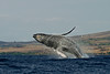humpback whale breaching (4 in sequence of 9), Megaptera novaeangliae, in Maui, Hawaii , Central Pacific Ocean