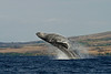 humpback whale breaching (2 in sequence of 9), Megaptera novaeangliae, in Maui, Hawaii , Central Pacific Ocean
