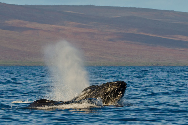 Two male humpback whales, Megaptera novaeangliae, performing a head lunge in a competition group, Maui, Hawaii