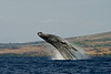 humpback whale breaching (1 in sequence of 9), Megaptera novaeangliae, in Maui, Hawaii , Central Pacific Ocean
