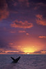 humpback whale breaching at sunset., Megaptera novaeangliae, in Kona Hawaii <br /> DC     3