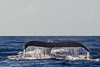 Humpback whale diving and showing fluke, Megaptera novaeangliae, Maui, Hawaii