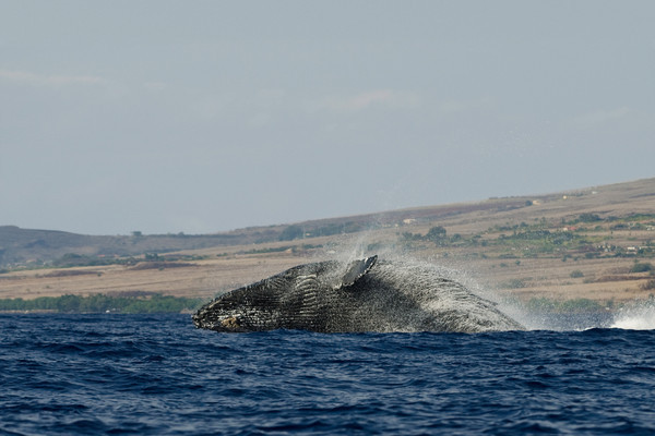 humpback whale breaching (7 in sequence of 9), Megaptera novaeangliae, in Maui, Hawaii , Central Pacific Ocean