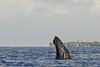 Humpback whale, Megaptera novaeangliae, spyhopping, Maui, Hawaii