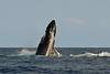 humpback whale breaching, Megaptera novaeangliae, in Maui, Hawaii , Central Pacific Ocean