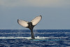 Humpback whale showing fluke, Megaptera novaeangliae, Maui, Hawaii