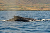Humpback whale and calf, Megaptera novaeangliae, surfacing to breathe in Maui, Hawaii