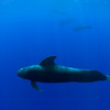 pod of short-finned pilot whales, Globicephala macrorhynchus, Kona, Hawaii ( Central Pacific Ocean )