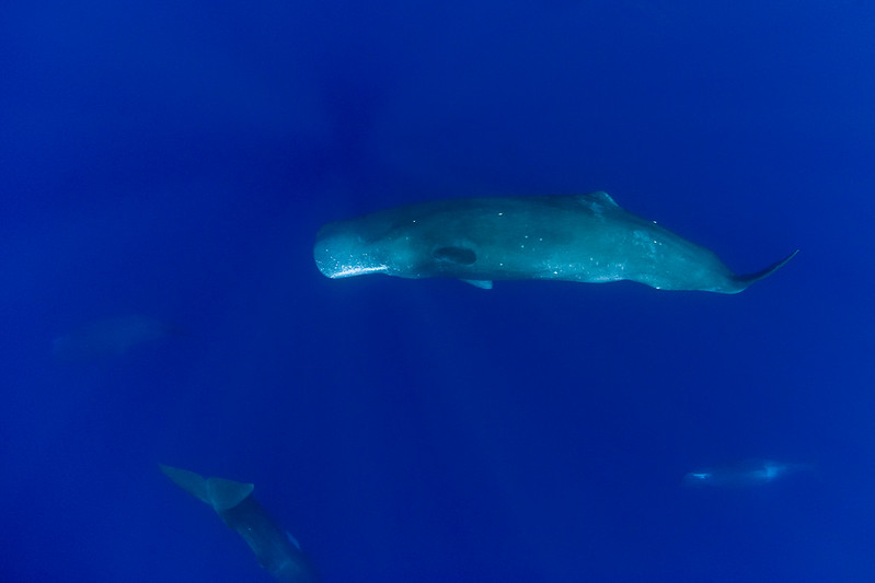 pod of sperm whales, Physeter macrocephalus, Hawaii ( Central Pacific Ocean )