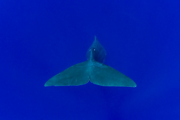 sperm whale fluke, Physeter macrocephalus, Hawaii ( Central Pacific Ocean )
