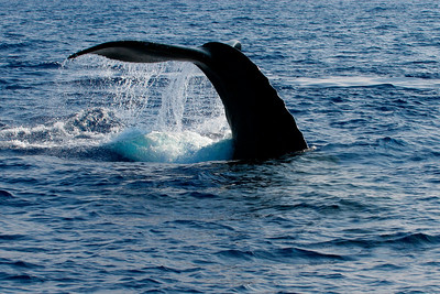 A humpback whale tail, megaptera novaeangliae, Big Island, Hawaii, Pacific