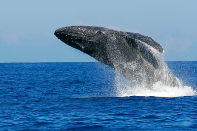A humpback whale breach, megaptera novaeangliae, Big Island, Hawaii, Pacific