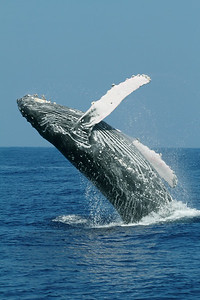 breaching Endangered Humpback Whales, megaptera novaeangliae, Big Island, Hawaii, Pacific Ocean