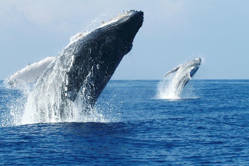 Double breaching Endangered Humpback Whales, megaptera novaeangliae, Big Island, Hawaii, Pacific Ocean