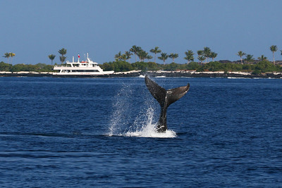 A humpback whale, megaptera novaeangliae, tail near the Kona coast line with the Kona Aggressor II dive boat in the background, Big Island, Hawaii, Pacific