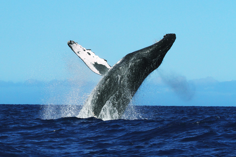An endangered Humpback whale breaches, Megaptera novaeangliae, Big Island, Hawaii, Pacific Ocean