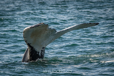Humpback Whale, Bay of Fundy