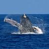 A humpback whale breach, megaptera novaeangliae, Big Island, Hawaii, Pacific