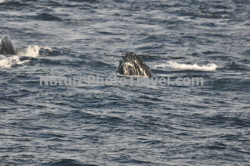 "Humpback Whale ""Spyhopping""<br /> <br /> Spyhopping is when a Humpback (or other whale) sticks their head above water to see what is happening above the water!<br /> <br /> The humpback whale is capable of living up to 95 years.<br /> <br /> Humpback whales reach lengths of 35 to 48 feet long and can weigh up to 65 tons, although females are slightly larger than  males.<br /> <br /> They are found in all the world's oceans, and migrate annually from the tropics to polar regions.<br /> <br /> Humpbacks sometimes engage in social hunting in which several whales encircle a school (group) of fish and blow bubbles that form a ""net"" around the fish, then move in with their mouths open to devour their prey. Their favorite foods include krill (shrimp-like crustaceans) and small schooling fish such as herring and mackerel. <br /> <br /> The ""songs"" of humpback whales are complex vocalizations made only by the males. Humpbacks are also well known for hurling their massive bodies out of the water in magnificent displays called breaching. Scientists are unsure why humpbacks breach, but believe it may be related to courtship or play activity.<br /> <br /> Humpback whales are identified by the markings on their tail. These markings are like fingerprints - no two are alike!"