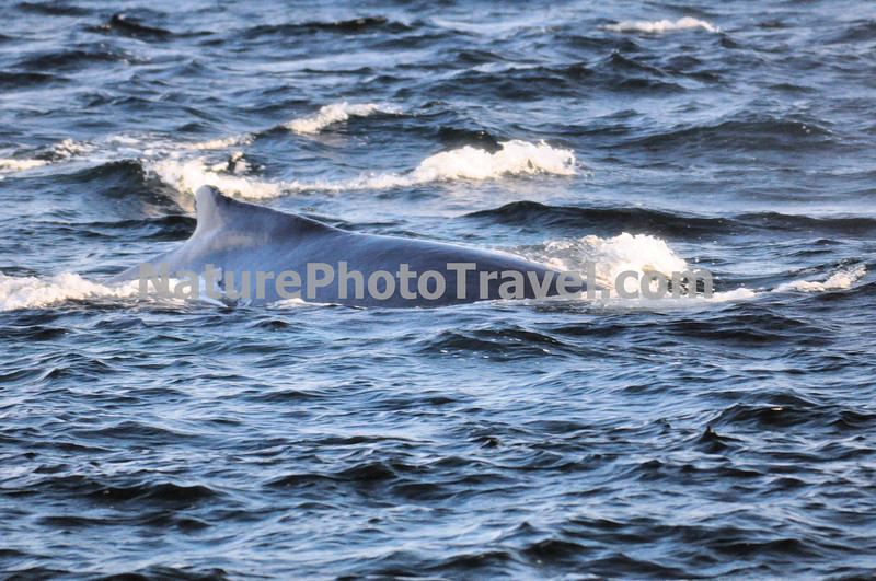 """Feeding Humpback Whale<br /> <br /> The humpback whale is capable of living up to 95 years.<br /> <br /> Humpback whales reach lengths of 35 to 48 feet long and can weigh up to 65 tons, although females are slightly larger than  males.<br /> <br /> They are found in all the world's oceans, and migrate annually from the tropics to polar regions.<br /> <br /> Humpbacks sometimes engage in social hunting in which several whales encircle a school (group) of fish and blow bubbles that form a """"net"""" around the fish, then move in with their mouths open to devour their prey. Their favorite foods include krill (shrimp-like crustaceans) and small schooling fish such as herring and mackerel. <br /> <br /> The """"songs"""" of humpback whales are complex vocalizations made only by the males. Humpbacks are also well known for hurling their massive bodies out of the water in magnificent displays called breaching. Scientists are unsure why humpbacks breach, but believe it may be related to courtship or play activity.<br /> <br /> Humpback whales are identified by the markings on their tail. These markings are like fingerprints - no two are alike!"""