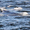 "Feeding Humpback Whale<br /> <br /> The humpback whale is capable of living up to 95 years.<br /> <br /> Humpback whales reach lengths of 35 to 48 feet long and can weigh up to 65 tons, although females are slightly larger than  males.<br /> <br /> They are found in all the world's oceans, and migrate annually from the tropics to polar regions.<br /> <br /> Humpbacks sometimes engage in social hunting in which several whales encircle a school (group) of fish and blow bubbles that form a ""net"" around the fish, then move in with their mouths open to devour their prey. Their favorite foods include krill (shrimp-like crustaceans) and small schooling fish such as herring and mackerel. <br /> <br /> The ""songs"" of humpback whales are complex vocalizations made only by the males. Humpbacks are also well known for hurling their massive bodies out of the water in magnificent displays called breaching. Scientists are unsure why humpbacks breach, but believe it may be related to courtship or play activity.<br /> <br /> Humpback whales are identified by the markings on their tail. These markings are like fingerprints - no two are alike!"