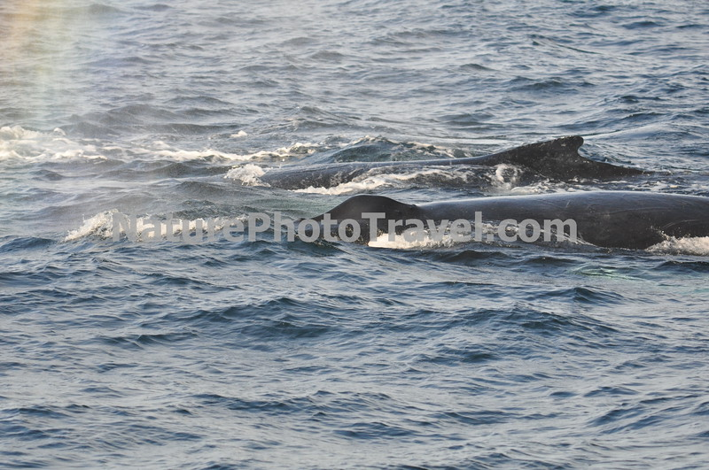 """Humpback Whales Feeding<br /> <br /> The humpback whale is capable of living up to 95 years.<br /> <br /> Humpback whales reach lengths of 35 to 48 feet long and can weigh up to 65 tons, although females are slightly larger than  males.<br /> <br /> They are found in all the world's oceans, and migrate annually from the tropics to polar regions.<br /> <br /> Humpbacks sometimes engage in social hunting in which several whales encircle a school (group) of fish and blow bubbles that form a """"net"""" around the fish, then move in with their mouths open to devour their prey. Their favorite foods include krill (shrimp-like crustaceans) and small schooling fish such as herring and mackerel. <br /> <br /> The """"songs"""" of humpback whales are complex vocalizations made only by the males. Humpbacks are also well known for hurling their massive bodies out of the water in magnificent displays called breaching. Scientists are unsure why humpbacks breach, but believe it may be related to courtship or play activity.<br /> <br /> Humpback whales are identified by the markings on their tail. These markings are like fingerprints - no two are alike!"""