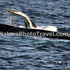"Diving Humpback Whale<br /> <br /> The humpback whale is capable of living up to 95 years.<br /> <br /> Humpback whales reach lengths of 35 to 48 feet long and can weigh up to 65 tons, although females are slightly larger than  males.<br /> <br /> They are found in all the world's oceans, and migrate annually from the tropics to polar regions.<br /> <br /> Humpbacks sometimes engage in social hunting in which several whales encircle a school (group) of fish and blow bubbles that form a ""net"" around the fish, then move in with their mouths open to devour their prey. Their favorite foods include krill (shrimp-like crustaceans) and small schooling fish such as herring and mackerel. <br /> <br /> The ""songs"" of humpback whales are complex vocalizations made only by the males. Humpbacks are also well known for hurling their massive bodies out of the water in magnificent displays called breaching. Scientists are unsure why humpbacks breach, but believe it may be related to courtship or play activity.<br /> <br /> Humpback whales are identified by the markings on their tail. These markings are like fingerprints - no two are alike!"