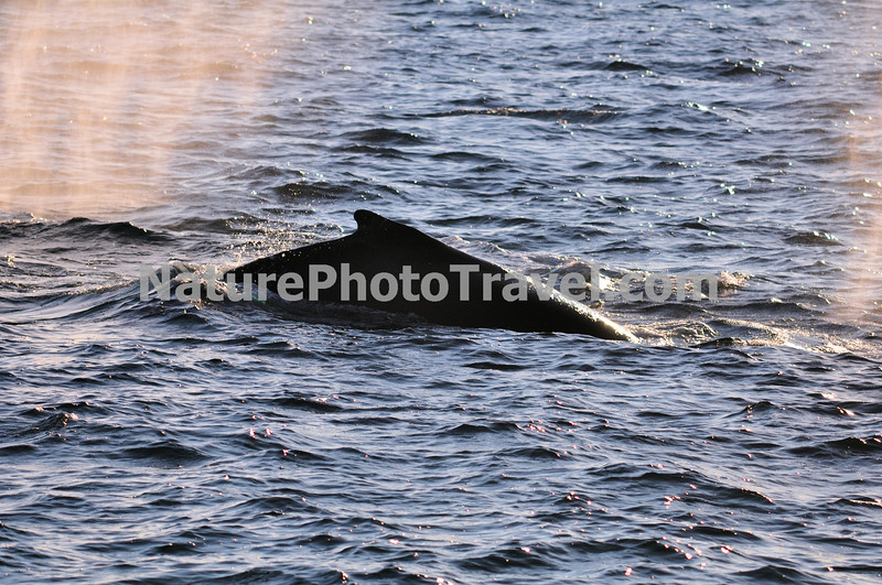 """Spouting (and Feeding) Humpback Whale<br /> <br /> The humpback whale is capable of living up to 95 years.<br /> <br /> Humpback whales reach lengths of 35 to 48 feet long and can weigh up to 65 tons, although females are slightly larger than  males.<br /> <br /> They are found in all the world's oceans, and migrate annually from the tropics to polar regions.<br /> <br /> Humpbacks sometimes engage in social hunting in which several whales encircle a school (group) of fish and blow bubbles that form a """"net"""" around the fish, then move in with their mouths open to devour their prey. Their favorite foods include krill (shrimp-like crustaceans) and small schooling fish such as herring and mackerel. <br /> <br /> The """"songs"""" of humpback whales are complex vocalizations made only by the males. Humpbacks are also well known for hurling their massive bodies out of the water in magnificent displays called breaching. Scientists are unsure why humpbacks breach, but believe it may be related to courtship or play activity.<br /> <br /> Humpback whales are identified by the markings on their tail. These markings are like fingerprints - no two are alike!"""