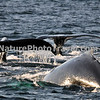 "Humpback Whales Feeding<br /> <br /> The humpback whale is capable of living up to 95 years.<br /> <br /> Humpback whales reach lengths of 35 to 48 feet long and can weigh up to 65 tons, although females are slightly larger than  males.<br /> <br /> They are found in all the world's oceans, and migrate annually from the tropics to polar regions.<br /> <br /> Humpbacks sometimes engage in social hunting in which several whales encircle a school (group) of fish and blow bubbles that form a ""net"" around the fish, then move in with their mouths open to devour their prey. Their favorite foods include krill (shrimp-like crustaceans) and small schooling fish such as herring and mackerel. <br /> <br /> The ""songs"" of humpback whales are complex vocalizations made only by the males. Humpbacks are also well known for hurling their massive bodies out of the water in magnificent displays called breaching. Scientists are unsure why humpbacks breach, but believe it may be related to courtship or play activity.<br /> <br /> Humpback whales are identified by the markings on their tail. These markings are like fingerprints - no two are alike!"