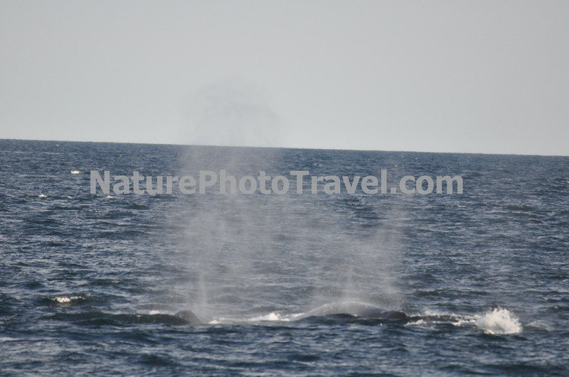 """Spout from Humpback Whale<br /> <br /> The humpback whale is capable of living up to 95 years.<br /> <br /> Humpback whales reach lengths of 35 to 48 feet long and can weigh up to 65 tons, although females are slightly larger than  males.<br /> <br /> They are found in all the world's oceans, and migrate annually from the tropics to polar regions.<br /> <br /> Humpbacks sometimes engage in social hunting in which several whales encircle a school (group) of fish and blow bubbles that form a """"net"""" around the fish, then move in with their mouths open to devour their prey. Their favorite foods include krill (shrimp-like crustaceans) and small schooling fish such as herring and mackerel. <br /> <br /> The """"songs"""" of humpback whales are complex vocalizations made only by the males. Humpbacks are also well known for hurling their massive bodies out of the water in magnificent displays called breaching. Scientists are unsure why humpbacks breach, but believe it may be related to courtship or play activity.<br /> <br /> Humpback whales are identified by the markings on their tail. These markings are like fingerprints - no two are alike!"""