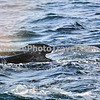 "Humpback Whale<br /> <br /> The humpback whale is capable of living up to 95 years.<br /> <br /> Humpback whales reach lengths of 35 to 48 feet long and can weigh up to 65 tons, although females are slightly larger than  males.<br /> <br /> They are found in all the world's oceans, and migrate annually from the tropics to polar regions.<br /> <br /> Humpbacks sometimes engage in social hunting in which several whales encircle a school (group) of fish and blow bubbles that form a ""net"" around the fish, then move in with their mouths open to devour their prey. Their favorite foods include krill (shrimp-like crustaceans) and small schooling fish such as herring and mackerel. <br /> <br /> The ""songs"" of humpback whales are complex vocalizations made only by the males. Humpbacks are also well known for hurling their massive bodies out of the water in magnificent displays called breaching. Scientists are unsure why humpbacks breach, but believe it may be related to courtship or play activity.<br /> <br /> Humpback whales are identified by the markings on their tail. These markings are like fingerprints - no two are alike!"