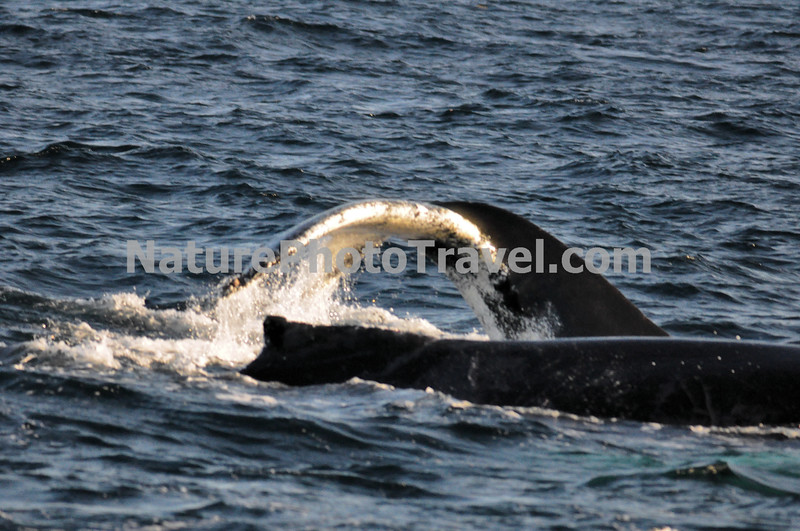 """Diving Humpback Whale<br /> <br /> The humpback whale is capable of living up to 95 years.<br /> <br /> Humpback whales reach lengths of 35 to 48 feet long and can weigh up to 65 tons, although females are slightly larger than  males.<br /> <br /> They are found in all the world's oceans, and migrate annually from the tropics to polar regions.<br /> <br /> Humpbacks sometimes engage in social hunting in which several whales encircle a school (group) of fish and blow bubbles that form a """"net"""" around the fish, then move in with their mouths open to devour their prey. Their favorite foods include krill (shrimp-like crustaceans) and small schooling fish such as herring and mackerel. <br /> <br /> The """"songs"""" of humpback whales are complex vocalizations made only by the males. Humpbacks are also well known for hurling their massive bodies out of the water in magnificent displays called breaching. Scientists are unsure why humpbacks breach, but believe it may be related to courtship or play activity.<br /> <br /> Humpback whales are identified by the markings on their tail. These markings are like fingerprints - no two are alike!"""