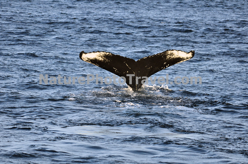 "Tail Fluke of Diving Humpback Whale<br /> <br /> The humpback whale is capable of living up to 95 years.<br /> <br /> Humpback whales reach lengths of 35 to 48 feet long and can weigh up to 65 tons, although females are slightly larger than  males.<br /> <br /> They are found in all the world's oceans, and migrate annually from the tropics to polar regions.<br /> <br /> Humpbacks sometimes engage in social hunting in which several whales encircle a school (group) of fish and blow bubbles that form a ""net"" around the fish, then move in with their mouths open to devour their prey. Their favorite foods include krill (shrimp-like crustaceans) and small schooling fish such as herring and mackerel. <br /> <br /> The ""songs"" of humpback whales are complex vocalizations made only by the males. Humpbacks are also well known for hurling their massive bodies out of the water in magnificent displays called breaching. Scientists are unsure why humpbacks breach, but believe it may be related to courtship or play activity.<br /> <br /> Humpback whales are identified by the markings on their tail. These markings are like fingerprints - no two are alike!"